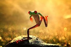 Dancing frog~The red-eyed tree frog has three eyelids, and sticky pads on its toes. Phyllomedusid tree frogs are arboreal animals, meaning they spend a majority of their lives in trees; they are great jumpers.