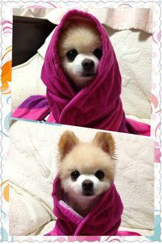 #wanko SHUNSUKE 昨夜 お風呂に(๑′ᴗ‵๑)
