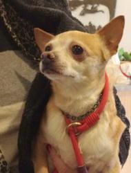 Charlie is an adoptable Chihuahua Dog in Quincy, MA. For more pictures and adoption information, visit Charlie's webpage .Charlie is one of five dogs that we recently took from a large Amish Puppy Mil...