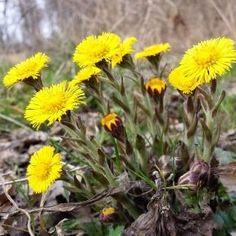 Żółte kwiatki podbiału pospolitego zwiastują wiosnę (fot. Wikimedia)