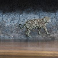 We specialise in crafting the best photographic tours worldwide. Contact us to craft your dream photo trip, or join one of our perfectly planned scheduled photo tours. Photography Tours, Wildlife Photography, Mammals, Brazil Amazon, Safari, African, Adventure, Jaguar, Gallery