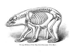Skeleton of Polar Bear
