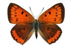 Weiblich von Großer Feuerfalter (Lycaena dispar), vom Aussterben bedrohte Schmetterling, der in Europa geschützt Stockfoto