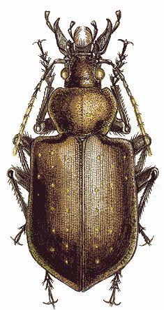 Calosoma investigator (Carabidae)