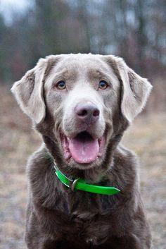 Just LOVE Silver Labs!!! Labrador Retriever #Dog #Puppy #Puppies