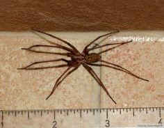 Species: Tegenaria sp.   Credit: Derek Wright