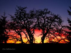 Oaks of Righteousness Oaks Of Righteousness, Oak Tree Silhouette, Daily Photo, State Art, Oregon, Sunset, Park, Trees, Outdoor