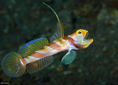 Goby - by Steven Kovacs #Goby
