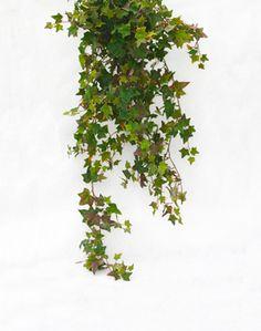 Image result for trailing Ivy