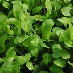 Arugula Lettuce Plant | Buy Arugula Lettuce Plants | Rocket | The Growers Exchange