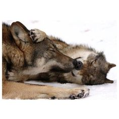 Wolf hunting is for savages with no empathy for beautiful animals. Wolf Photos, Wolf Pictures, Animal Pictures, Wolf Spirit, Spirit Animal, Animal Hugs, Beautiful Creatures, Animals Beautiful, Tier Wolf