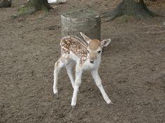 Bebe cerf de Virginie