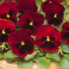 Pansy Matrix Red Blotch- 40 Plug Plants A breakthrough in modern Pansy breeding these large flowered Pansies have been proven to give outstanding