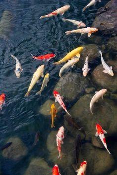 Koi Pond - Japanese Koi Fish in Rock Bottomed Pond Koi Art, Fish Art, Common Carp, Fauna Marina, Goldfish Pond, Japanese Koi, Fish Swimming, Fish Ponds, Ponds Backyard