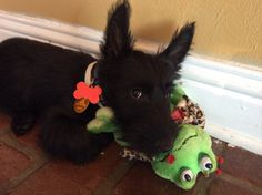 Maggie- what a cute Scottie....so sweet