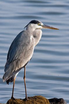 Grey heron (Ardea cinerea), is a wading bird of the heron family Ardeidae, native throughout temperate Europe and Asia and also parts of Africa.
