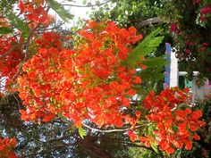 Royal Ponciana tree blooms Blooming Trees, Flowering Trees, Sanibel Island, Climbers, Shrubs, Nature, Landscapes, Beautiful, Garden Decorations