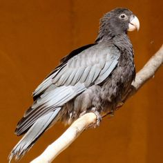 Greater VAsa Parrot, In breeding season females loose their feathers on their heads, revealing the yellow coloration of the skin.