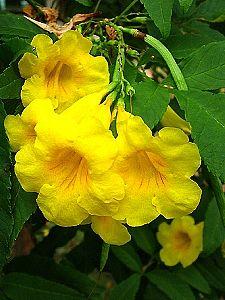 Tecoma stans, Amarelinho, Bignônia-amarela, Carobinha, Guarã-guarã, Ipê-amarelo-de-jardim, Ipê-mirim, Ipêzinho-de-jardim, Sinos-amarelos