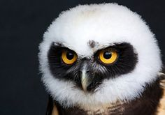 Spectacled Owl Stare by © RhianS, via Flickr.com