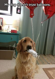 "Don't worry, sweet pup.  ""My dog doesn't trust balloons."" ~ Dog Shaming shame - Golden Retriever"