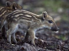 Baby boar                 Young wild boars roam in the Rambouillet Forest in France on July 31.