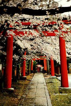 Kyoto Japón Sakura
