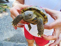 Gary the Tortoise's big vacation: Gary the Russian tortoise had a swell vacation at Ohme Gardens.