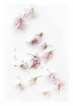 cherry blossoms (mary jo hoffman)