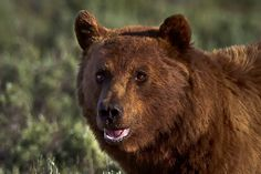 Grizzly Bear Portrait, Wildlife Photography, Fine Art, Nature Photography, Animal Photography, Rob's Wildlife, Epic Wildlife Adventures by RobsWildlife on Etsy https://www.etsy.com/listing/211342438/grizzly-bear-portrait-wildlife