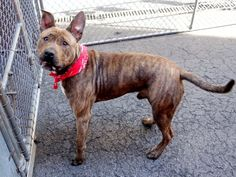 Manhattan Center SIMBA – A1033251 MALE, BR BRINDLE / WHITE, AM PIT BULL TER, 6 mos STRAY – ONHOLDHERE, HOLD FOR ID Reason STRAY Intake condition EXAM REQ Intake Date 04/15/2015
