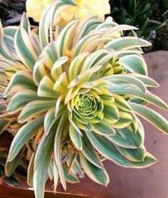 "My favorite type of aeonium "" Sunrise "" looks like a beautiful flower, year round.  VERY sensitive to cold, bring in the house before it hits 40 degrees to prevent scarring or death !"