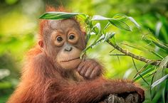 The Future For Borneo's Critically Endangered Orangutans Looks Grim  | Care2 Causes