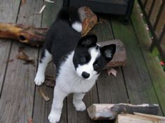 Karelian Bear Dog puppy. Reminds me so much of the dog I had. <3