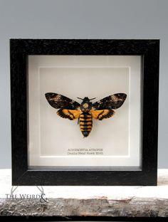 PRE ORDER Death's Head Hawk Moth - (Acherontia atropos)