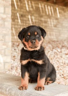 👋🌞Introducing Cassie! An incredibly sweet and charming #Rottweiler puppy, with her big heart, and #PeppyPersonality, this cutie will be the #IdealCompanion for anyone! #Charming #PinterestPuppies #PuppiesOfPinterest #Puppy #Puppies #Pups #Pup #Funloving #Sweet #PuppyLove #Cute #Cuddly #Adorable #ForTheLoveOfADog #MansBestFriend #Animals #Dog #Pet #Pets #ChildrenFriendly #PuppyandChildren #ChildandPuppy #LancasterPuppies www.LancasterPuppies.com Lancaster Puppies, Rottweiler Puppies, Puppies For Sale, Mans Best Friend, Cassie, Puppy Love, Children, Dogs, Cute