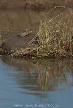 Sunbathing Terrapin at Hluhluwe-Imfolozi Game Reserve, South Africa