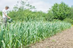 What Are the Best and Worst Companion Plants for Garlic?