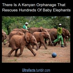 """Funnywildlife.tumblr.com: vancity604778kid: """" ultrafacts: """" Source [For more facts, Click HERE to follow Ultrafacts] """" This is awesome. The volunteers take care of the baby elephants who lost their mothers to poachers and all..."""