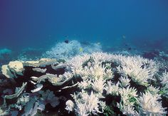 What we are living are sad times for the coral reefs. The ocean waters are currently warming up, there are. Coral Reef Animals, Coral Reef Art, Coral Reefs, Coral Reef Bleaching, Save Our Oceans, Our Planet, Great Lakes, Global Warming, Marine Life