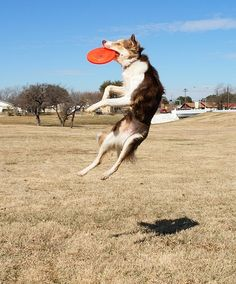 HIGH FLYER - Border Collie