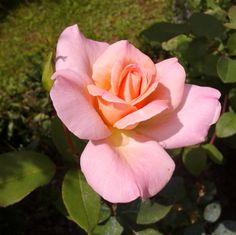 le jardin de marianne: roses du mois d'aout