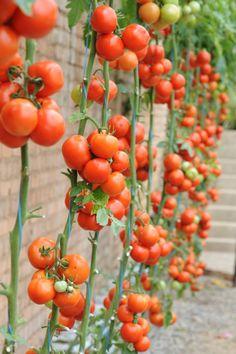 10 tips voor de heerlijkste tomaten - Libelle