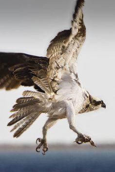 White Bellied Sea Eagle - نسر البحار الأصلع | Flickr - Photo Sharing!