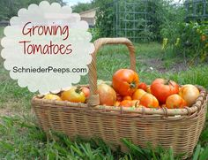 SchneiderPeeps - Growing Tomatoes