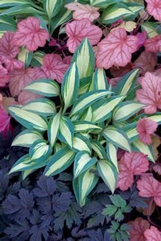 Little Treasure Hosta