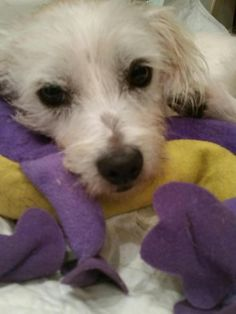 Damian is an adoptable Maltese, Terrier Dog in Pembroke Pines, FL Damian is approx. 1 yr old and weighs 9 lbs.  He was in such a bad shape that he had an open wo ... ...Read more about me on @petfinder.com