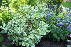 Flowers to plant with a Dogwood shrub Garden Shrubs, Flowering Shrubs, Ivory Halo Dogwood, Dogwood Shrub, Front Yard Landscaping, Landscaping Ideas, White Gardens, Garden Theme, Gardening Tips