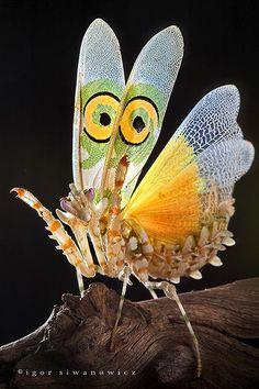 Mantis de reve