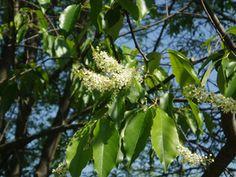 Prunus serotina (Black cherry)